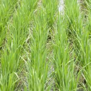 vetiver-agricultura